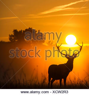 Silhouette of reindeer at sunset - Stock Photo