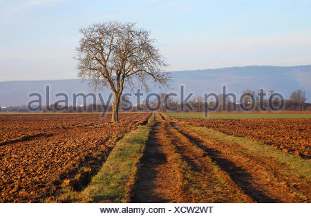walnut (Juglans regia), single tree by the wayside in field landscape, Germany - Stock Photo