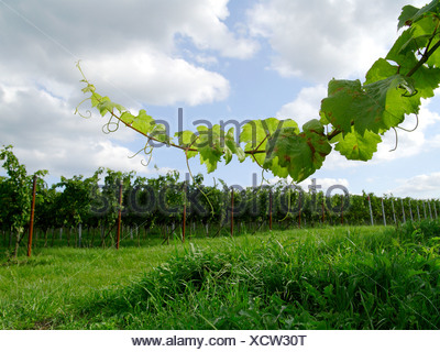vineyard in sommer. NOT AVAILABLE FOR USE IN CALENDERS, Germany, Rhineland-Palatinate, Siebeldingen - Stock Photo