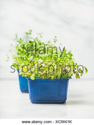 Fresh spring green live radish cress sprouts in blue plastic pots over white marble background for healthy eating, selective focus, copy space. Clean - Stock Photo