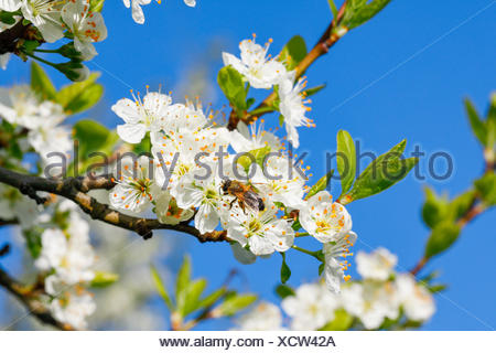 Kirschbäume im Frühling, Prunus avium, Schweiz - Stock Photo