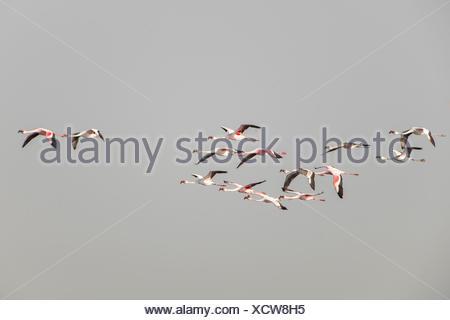 American Flamingo (Phoenicopterus ruber) colony in flight, Little Rann of Kutch, Gujarat, India - Stock Photo