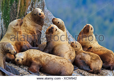 Steller Sea Lions resting on a rock in Fife Sound, British Columbia, Canada - Stock Photo