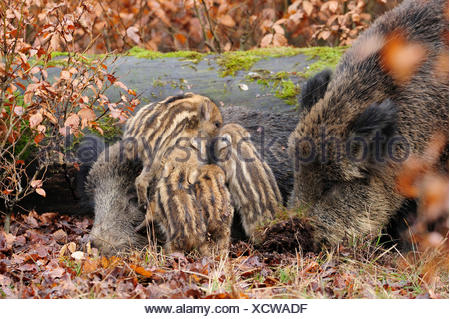 wild boar, pig, wild boar (Sus scrofa), wild sow with shoats, Germany, North Rhine-Westphalia - Stock Photo