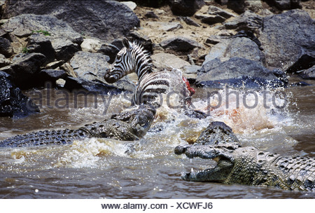 Crocodiles attacking zebra Mara River Kenya Africa - Stock Photo