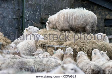 Sheep feeding on a large mound of hay in a farmyard. - Stock Photo