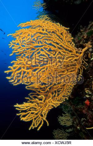 Yellow seafan, Vis Island, Croatia, Adriatic Sea, Mediterranean - Stock Photo