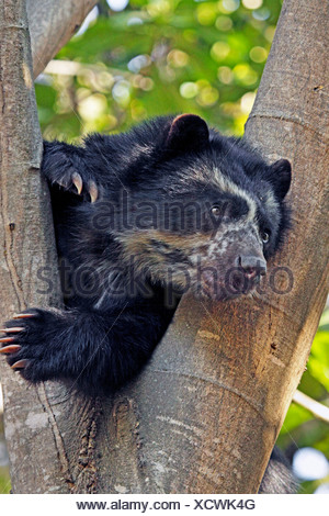 Spectacled bear, Andean bear (Tremarctos ornatus), resting in a tree and showing tongue, Peru, Lambayeque, Reserva Chaparri - Stock Photo