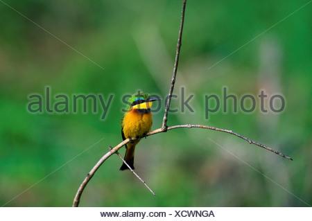 Tanzania, Lake Manyara, Little Bee-Eater - Stock Photo