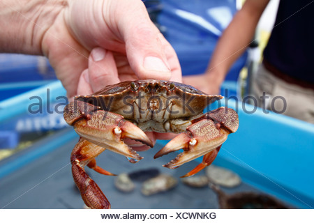 An live Atlantic rock crab held in a hand - Stock Photo