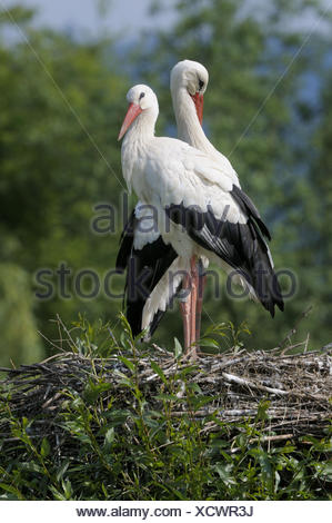 White storks, Ciconia ciconia, nest, standing, - Stock Photo