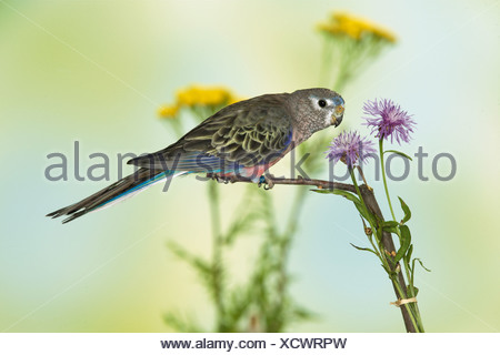 Bourke s Parrot on twig beside a flower Neopsephotus bourkii - Stock Photo