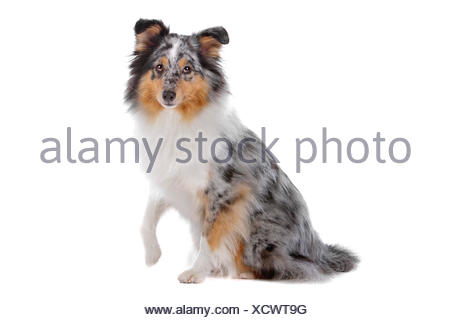 Shetland Sheepdog, Sheltie - Stock Photo