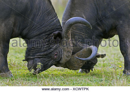 African buffalo (Syncerus caffer), two fighting buffaloes, South Africa, Hluhluwe-Umfolozi National Park - Stock Photo
