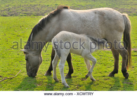Tarpan (Equus ferus gmelini, Equus gmelini), mare and foal on meadow, Germany - Stock Photo