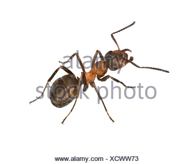 Wood Ant - Formica rufa - Stock Photo