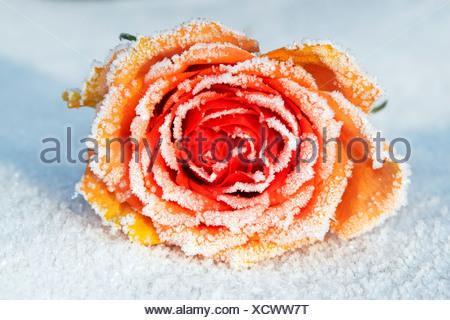 Frozen Rose (Rosa cultivar), hoarfrost covered blossom in snow - Stock Photo