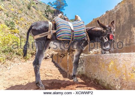 Donkey drinking water from a drinking trough in Roque Negro municipality. Santa Cruz de Tenerife - Stock Photo