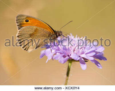 Small Heath (Coenonympha pamphilus) sucking nectar, Thuringia, Germany - Stock Photo