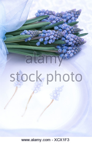 Misty Blue Muscari Bunch of Muscari flowers tied pale blue sheer ribbon on a plate illustrated three Muscari flowers and a - Stock Photo