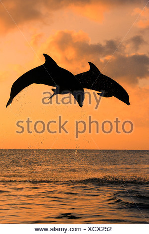 Bottlenose Dolphin (Tursiops truncatus), two dolphins leaping out of the water at dusk, captive, Honduras - Stock Photo