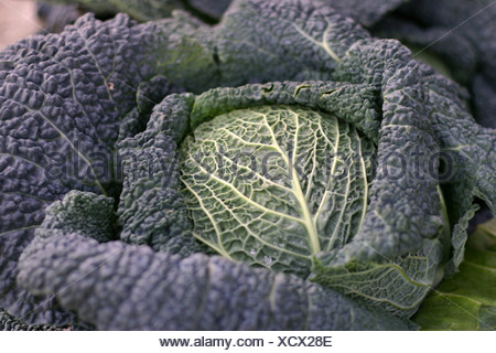 Neustadt in Holstein, Germany, Close up of a Savoy with leafs - Stock Photo
