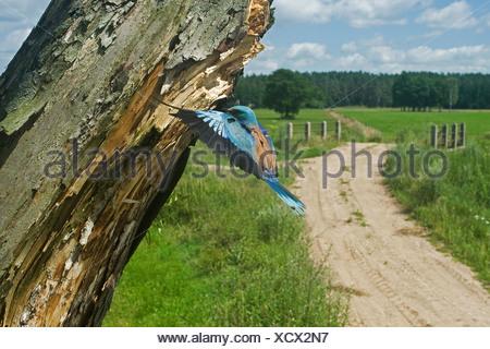 European roller (Coracias garrulus), approaching nest hole, Poland, Lomza-Narew, Nowogrod - Stock Photo