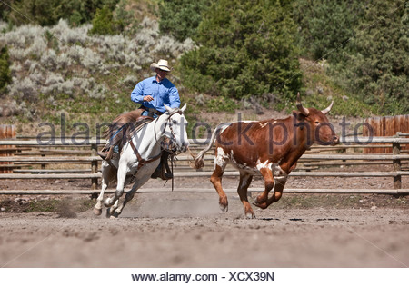 Cowboy wrangler moving cattle in corral, ranching, Montana USA - Stock Photo