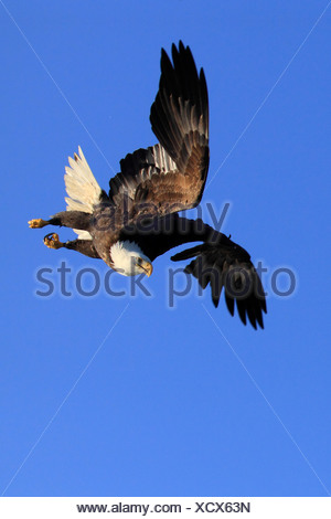 Bald Eagle, Haliaeetus leucocephalus, Weisskopfseeadler, Homer, Kenai Peninsula, Alaska, USA - Stock Photo