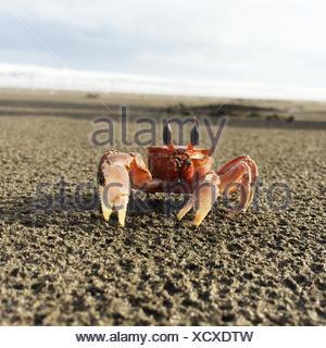 Close-up of crab on beach, California, America, USA - Stock Photo
