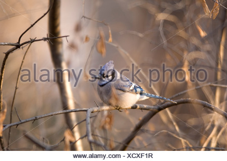 A Blue Jay (Cyanocitta cristata) sits in a tangle of tree branches. - Stock Photo