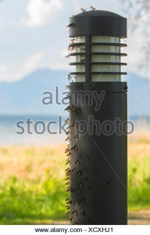 Gemeine Eintagsfliege, Braune Maifliege (Ephemera vulgata), in grosser Zahl an Wegbeleuchtung sitzend, Deutschland, Bayern, Chie - Stock Photo