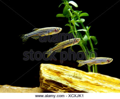 Zebra Fish, brachydanio rerio - Stock Photo