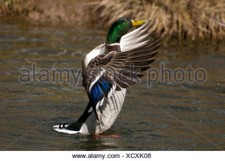 Mallard flapping, WWT Arundel Wetland Centre, UK - Stock Photo