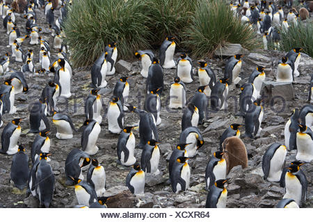 Looking down on the vast King Penguin (Aptenodytes patagonicus) colony at Salisbury Plain on South Georgia.  Estimated breeding - Stock Photo