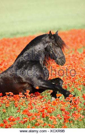 friesian horse - galloping in poppy field - Stock Photo