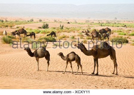 Wild camels at the sand dunes of Erg Chegaga, Sahara Desert near Mhamid, Morocco, Africa - Stock Photo