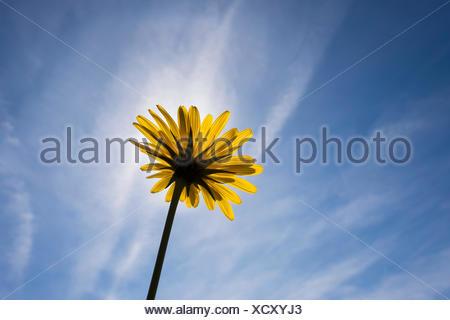 Meadow Salsify (Tragopogon pratensis), flower, Upper Bavaria, Bavaria, Germany - Stock Photo