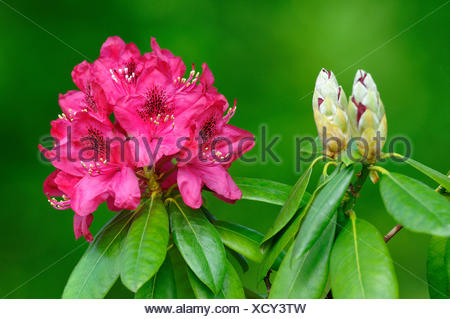 Rhododendron (Rhododendron sp), buds and flowers, North Rhine-Westphalia, Germany - Stock Photo