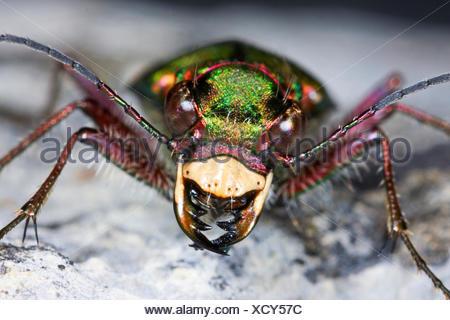 Green tiger beetle (Cicindela campestris), portrait, Germany - Stock Photo