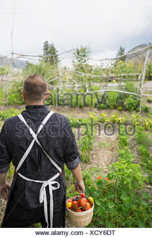 Farm-to-table chef carrying bushel of fresh harvested tomatoes in vegetable garden - Stock Photo