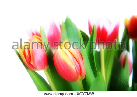 Beautiful pink tulips isolated on white background - Stock Photo