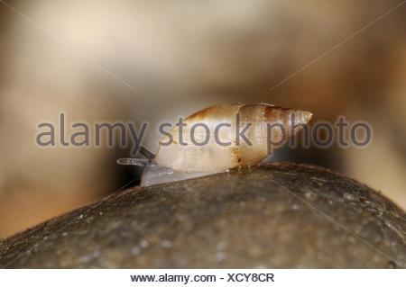 Mouse-eared Snail - Myosotella myosotis - Stock Photo