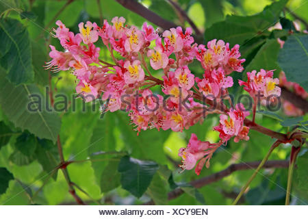 red horse chestnut aesculus pavia - Stock Photo