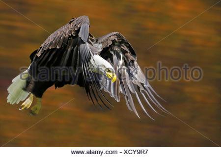 American bald eagle (Haliaeetus leucocephalus), flying, Canada - Stock Photo