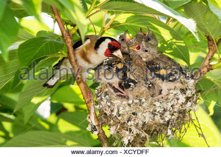 Eurasian goldfinch (Carduelis carduelis), at the nest with nearly fully fledged chicks, Germany, North Rhine-Westphalia - Stock Photo