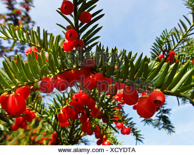 common yew (Taxus baccata), with red seeds on a branch, Germany - Stock Photo