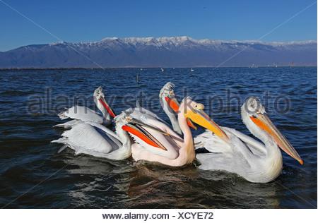 Dalmatian pelican (Pelecanus crispus), Dalmatian pelicans in breeding plumage swimming together with a Great White Pelican, Greece, Lake Kerkini - Stock Photo