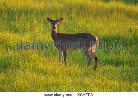 White-tailed deer (Odocoileus virginianus), Kootenai National Wildlife Refuge, Idaho. - Stock Photo