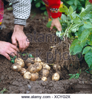 Picking potatoes Sweden. - Stock Photo